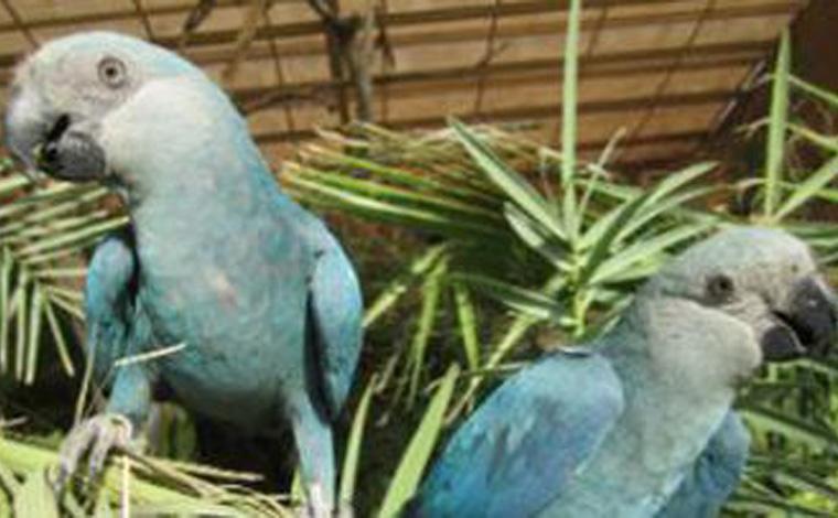 Filhotes de ararinhas-azuis nascem no Brasil após 20 anos de extinção no país