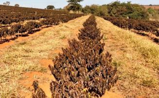 Governo do Estado fará laudos gratuitamente para pequenos produtores afetados por geadas