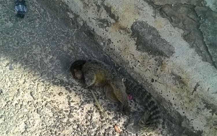 Mais um macaco morto é encontrado em Sete Lagoas, desta vez na área urbana
