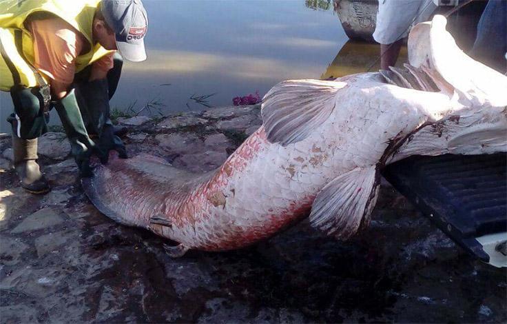 Oscilação de temperatura causou morte de pirarucus na Lagoa Paulino