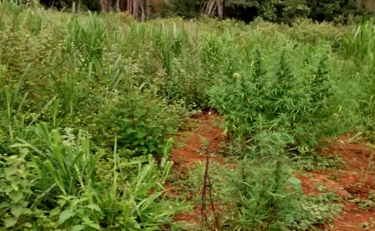 PM encontra plantações de maconha em Paraopeba e Caetanópolis