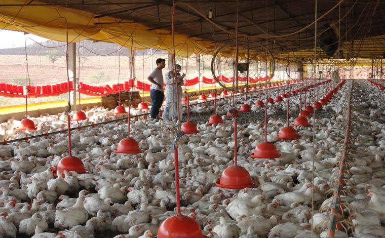 Registro de granjas avícolas em Minas termina no sábado