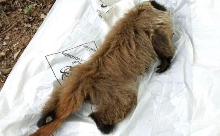 Exame aponta febre amarela como causa da morte de macaco em Sete Lagoas