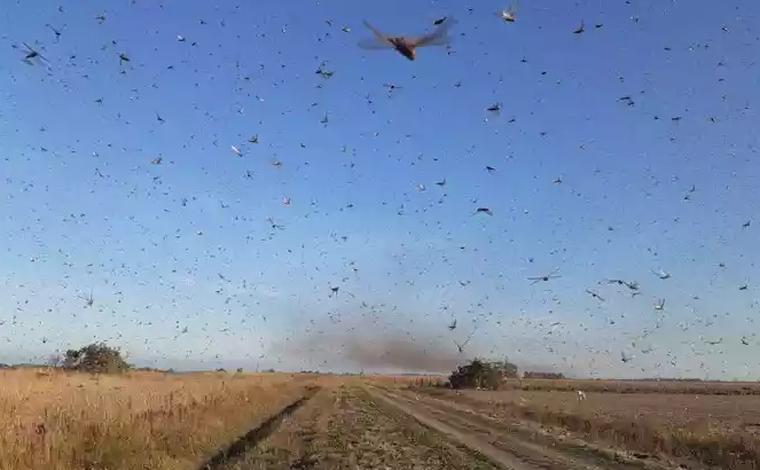 Nuvem de gafanhotos chega na Argentina e se aproxima do Brasil
