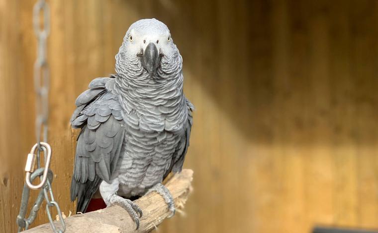 Cinco papagaios são afastados de zoológico por ensinarem palavrões as demais aves