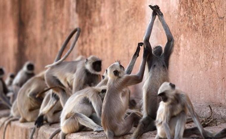 Briga entre 35 macacos derruba parede de uma casa e mata dois homens na Índia