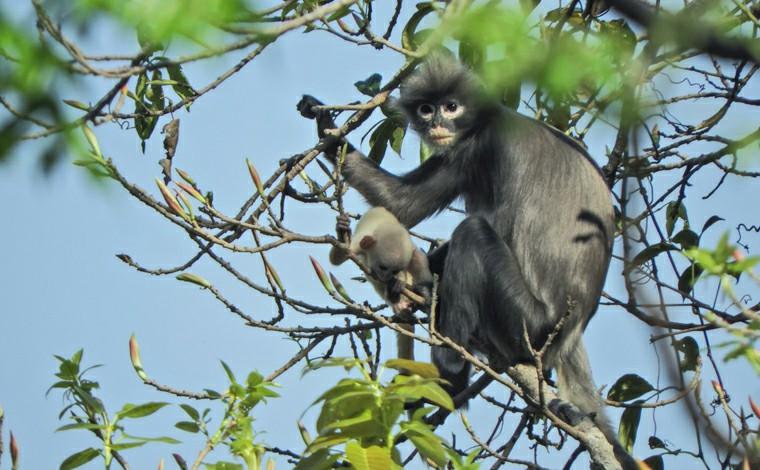 Cientistas descobrem nova espécie de primata escondida em Mianmar