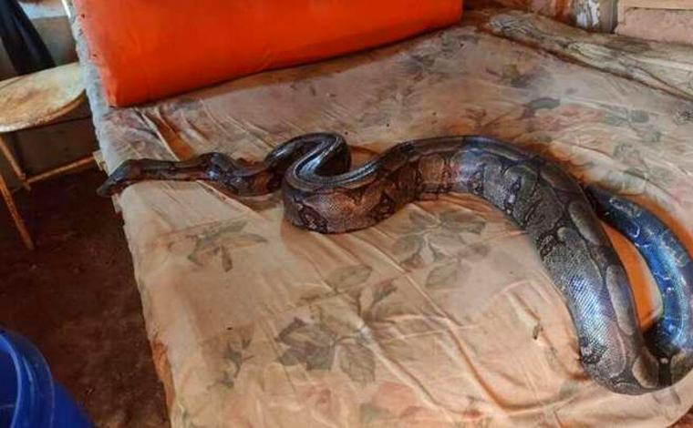 Jiboia de três metros é capturada dentro de casa no interior de Minas Gerais