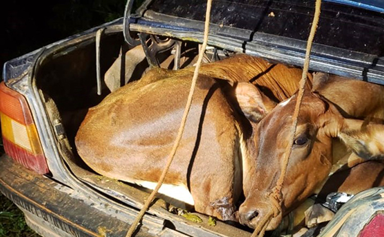 Bezerro e novilha são encontrados amarrados dentro de carro após furto na zona rural de Campestre