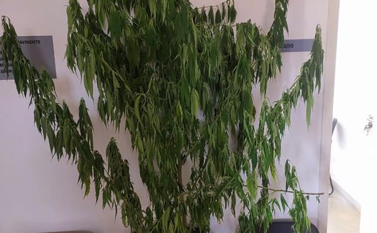 Pé de maconha de 2 metros é encontrado dentro da Penitenciária Nelson Hungria, em Contagem