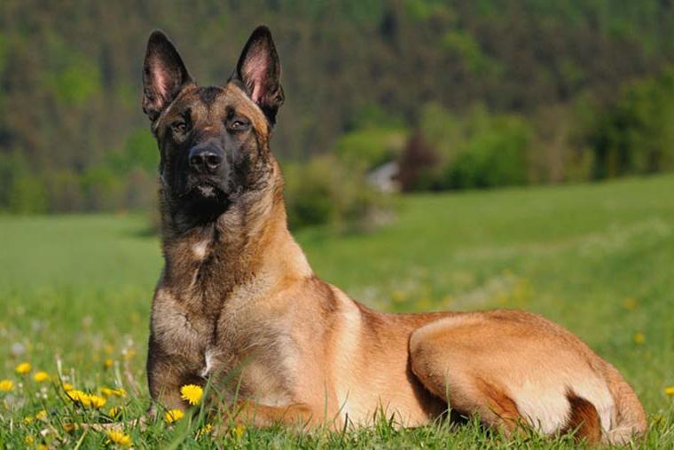 Estudo aponta que cães farejadores são quase tão eficazes quanto teste PCR na detecção de Covid-19